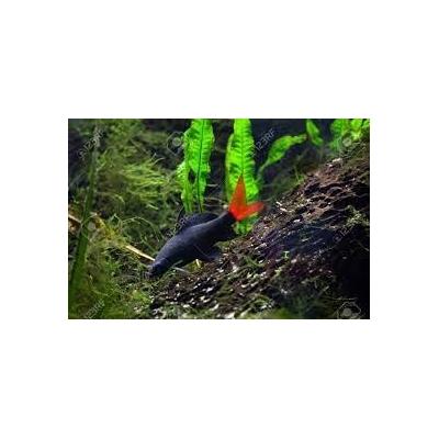 Labeo, Grubowarg dwubarwny