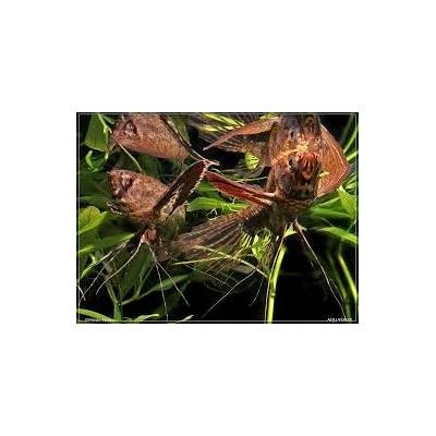 Pantodon buchholzi  Motylowiec