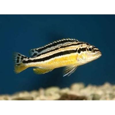 Pyszczak  Melanochromis auratus